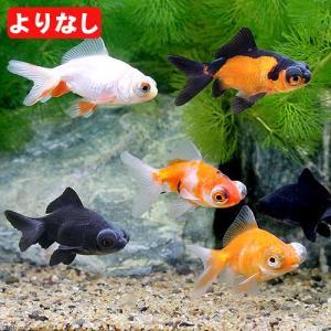 (国産金魚)よりなし(無選別) 出目金ミックス(4匹) 北海道・九州航空便要保温|chanet