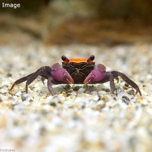 お送りする個体は甲幅1cm〜1.5cm程度です。ヒゲや脚が切れている場合がございますが、成長とともに...
