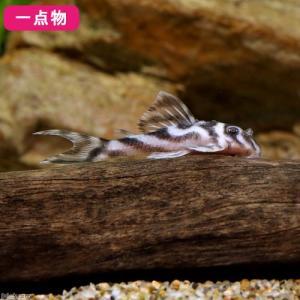 (熱帯魚)一点物 スーパーインペリアルゼブラプレコ L−173a(ブリード)(1匹) 沖縄別途送料 ...