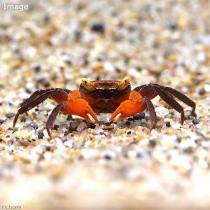 お送りする個体は甲幅1〜1.5cm程度です。個体サイズや模様、雌雄の指定についてはお受け致しかねます...