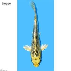 (錦鯉)金松葉/キンマツバ ニシキゴイ 18〜25cm(1匹)