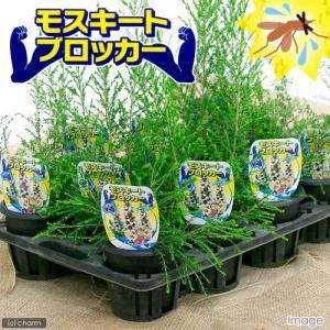 (観葉植物)ハーブ モスキートブロッカー 4号(1鉢) 虫除け植物 家庭菜園|chanet