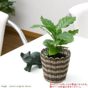 (観葉)コーヒーの木 3号(1ポット)