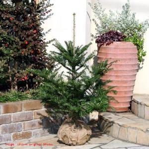 (観葉植物)もみの木(ウラジロモミノキ) 長野産(1本)(高さ0.8〜1m前後)説明書付き 同梱不可 chanet