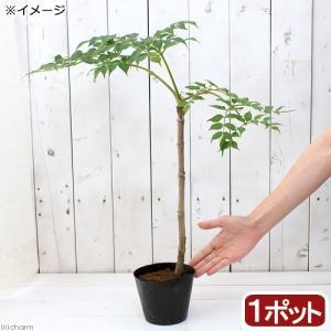 (山野草)山菜 トゲなしタラノキ 苗木(1本) 家庭菜園 盆栽 庭木 (休眠株)