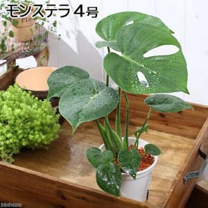 (観葉植物)モンステラ 4号(1鉢) 北海道冬季発送不可