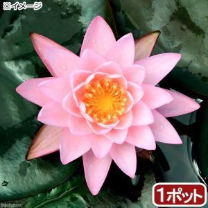 (ビオトープ/睡蓮)温帯性睡蓮(スイレン)(桃) ピンク サンライズ Pink Sunrize (1ポット)