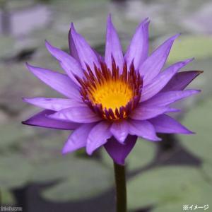 (ビオトープ/睡蓮)熱帯性睡蓮(スイレン)(紫) ロンダ ケイ(1ポット)