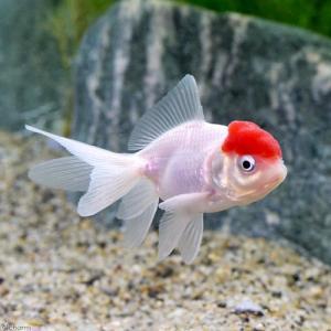 (国産金魚)飯田丹頂(1匹)