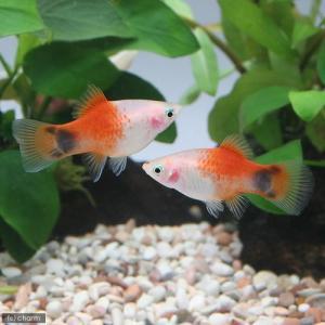 メーカー:■25〜30 メーカー品番: muryotassei_900_999 _aqua 熱帯魚・...