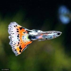メーカー:■25〜30 メーカー品番: _aqua 熱帯魚・エビ他 グッピー ノーマル系 モザイク・...