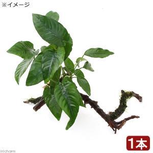 (水草)アヌビアス2種&おまかせモス 枝状流木付 Mサイズ(1本)(約20cm) 北海道航空便要保温
