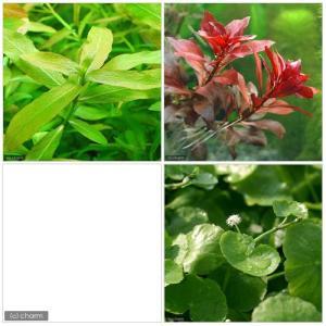 水草初心者の方にお勧め!水草の育成の楽しみを味わえる3種類のセットです。■ビギナー3点セット(水上葉...