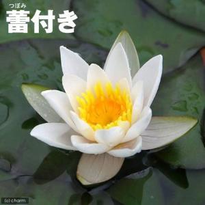 (ビオトープ/睡蓮)蕾付き 姫スイレン 白 スノー・プリンセス タグ付(1ポット)