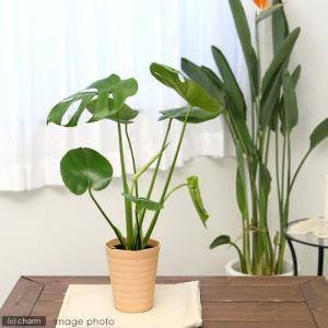 (観葉植物)モンステラ 5号(1鉢) 北海道冬季発送不可