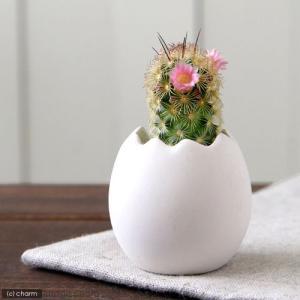 私のオアシス 〜元気の出るたまごチビ サボテン〜 (1鉢) 可愛いタマゴ型の鉢と、サボテンのセットで...