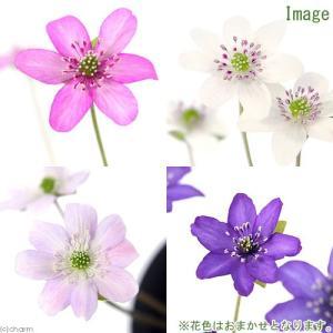 (山野草)ユキワリソウ 標準花(雪割草) 花色おまかせ 3号(3ポット)