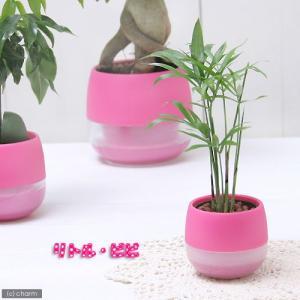 (観葉植物)おまかせハイドロ苗とブライトピンクビビセット Sサイズ苗(1セット)