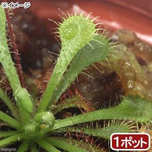 (食虫植物)トウカイコモウセンゴケ 2号(1ポット)|chanet