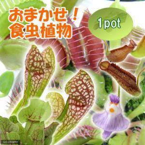 (食虫植物)おまかせ食虫植物(1ポット)|chanet