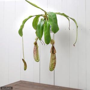 (食虫植物)ウツボカズラ ネペンテス ダイエリアーナ 6号(1鉢)(吊り鉢タイプ) 沖縄別途送料|chanet