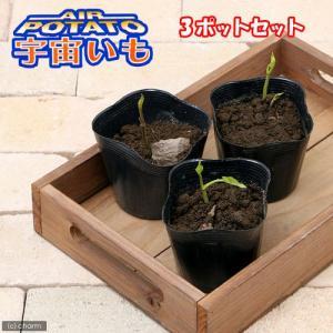 (観葉植物)宇宙いもの苗 エアーポテト 3号( 3ポットセット) 家庭菜園