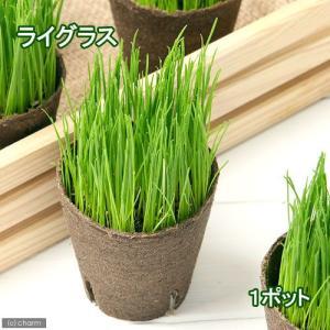 (観葉植物)イタリアンライグラス 猫草 ネコちゃんの草 直径8cmECOポット植え(無農薬)(1ポット)|chanet