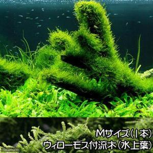 メーカー:草■0〜30 メーカー品番:【長さ20cm】 熱帯魚 _aqua ウィローモス特集 水草付...