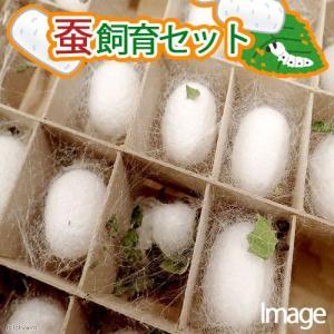 (昆虫)要冷蔵 蚕 飼育セット 絹糸作出キット 自由研究 説明書付き 本州・四国限定|chanet
