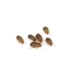 デュビア Sサイズ(0.6〜0.8cm程度)内容量 5グラム(約100〜120匹)※グラムでの発送と...