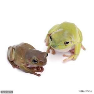 両生類の仲間は体表に微弱な毒を持っています。触ったあとは必ず手を洗い、目などをこすらないようにご注意...