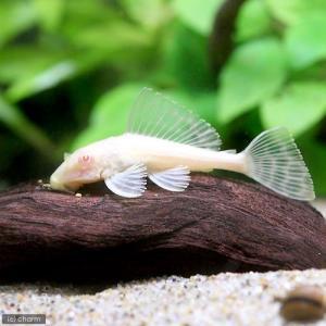 メーカー:■25〜30 メーカー品番: _aqua 熱帯魚・エビ他 プレコ セルフィン系 アルビノセ...