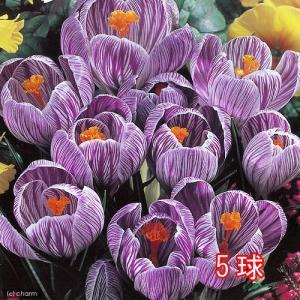(観葉植物)スーパージャンボ クロッカス球根(水栽培向き) 絞り咲き系(5球セット)