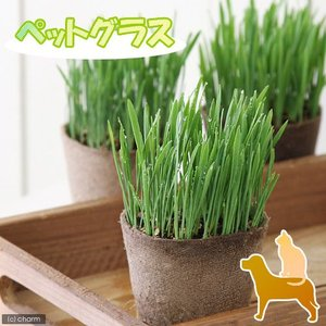 (観葉植物)ペットグラス 猫草 ネコちゃんの草 燕麦 直径8...