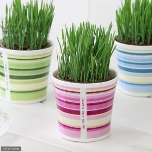 (観葉植物)ペットグラス 猫草 ネコちゃんの草 燕麦 直径8cmECOポット植え(無農薬)(鉢カバー付き・ピンク)|chanet