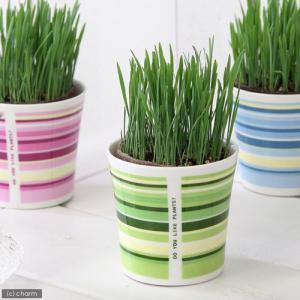 (観葉植物)ペットグラス 猫草 ネコちゃんの草 燕麦 直径8cmECOポット植え(無農薬)(鉢カバー付き・グリーン) chanet