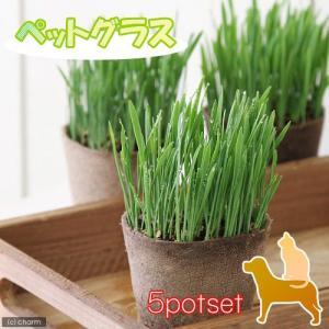 (観葉植物)ペットグラス 猫草 ネコちゃんの草 燕麦 直径8cmECOポット植え(無農薬)(5ポットセット) 北海道冬期発送不可|chanet