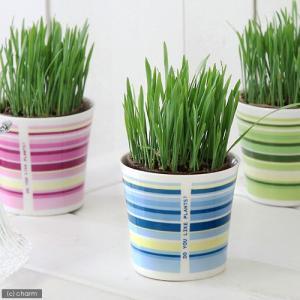 (観葉植物)ペットグラス 猫草 ネコちゃんの草 燕麦 直径8cmECOポット植え(無農薬)(鉢カバー付き・ブルー) chanet