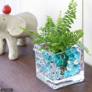(観葉植物)おまかせオアシス苗とブロックグラスS ブルーミックスセット