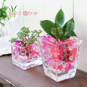 (観葉植物)おまかせオアシス苗とブロックグラス・スクエアグラス2Pセット レッドミックス