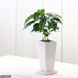 (観葉)コーヒーの木 陶器鉢植え 〜タワーS WH〜 受け皿付き