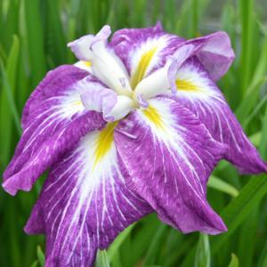 (ビオトープ)水辺植物 花菖蒲 華陽の舞(カヨウノマイ)肥後系紅紫六英花(1ポット)