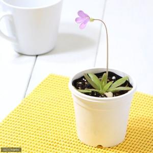 (食虫植物)ムシトリスミレ ピンギキュラ アフロディーテ 3号(1ポット)|chanet