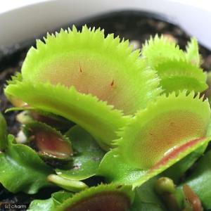 (食虫植物)ハエトリソウ ブリストルトゥース 3号(1ポット) chanet