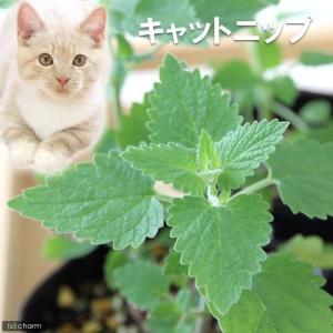 (観葉植物)ハーブ苗 猫草 キャットニップ コモン 3号(1ポット) 家庭菜園|chanet