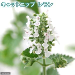 (観葉植物)ハーブ苗 猫草 キャットニップ レモン 3号(1ポット) 家庭菜園|chanet