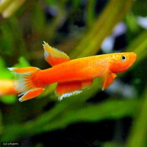(熱帯魚)アフィオセミオン・オーストラレ ソリッドオレンジ(1ペア) 北海道・九州・沖縄航空便要保温