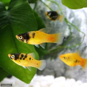 メーカー:■25〜30 メーカー品番: 熱帯魚・エビ他 プラティ・卵胎生メダカ プラティの仲間 ゴー...