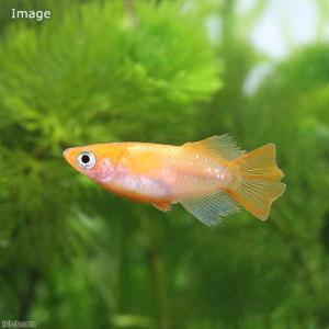 別名: 朱天皇楊貴妃のヒカリ半ダルマです。楊貴妃は朱赤の体色が美しい品種です。幼魚時にはヒメダカより...