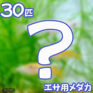 (めだか)生餌 エサ用メダカ/えさ用めだか(30匹) chanet
